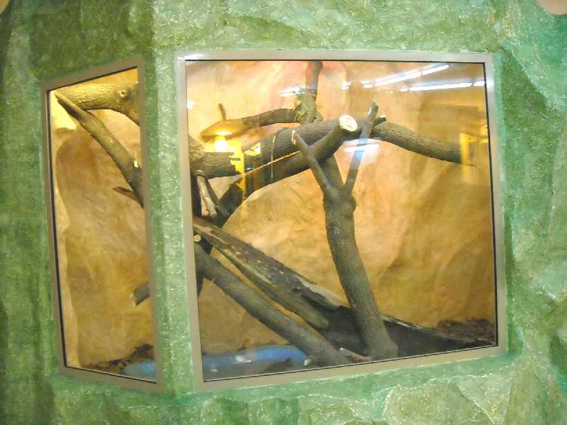 Обыкновенная игуана - Iguana iguana  (фото 2801)