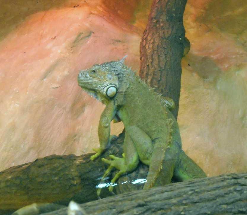 Обыкновенная игуана - Iguana iguana  (фото 2802)