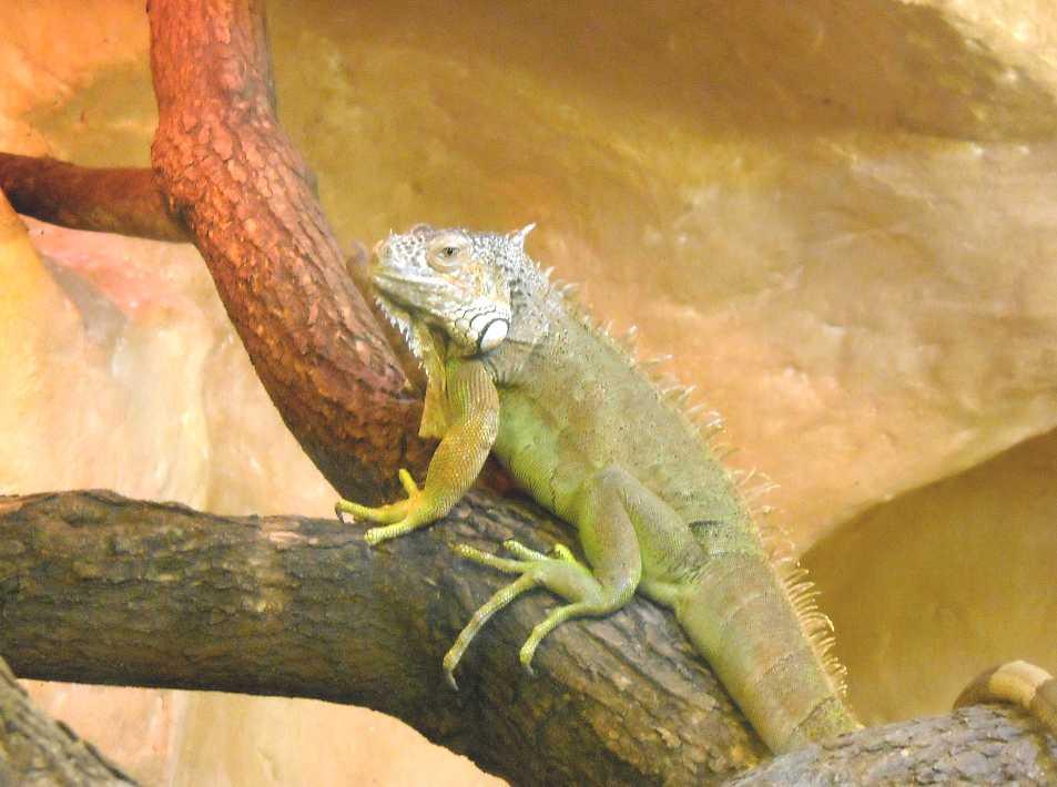 Обыкновенная игуана - Iguana iguana  (фото 2803)