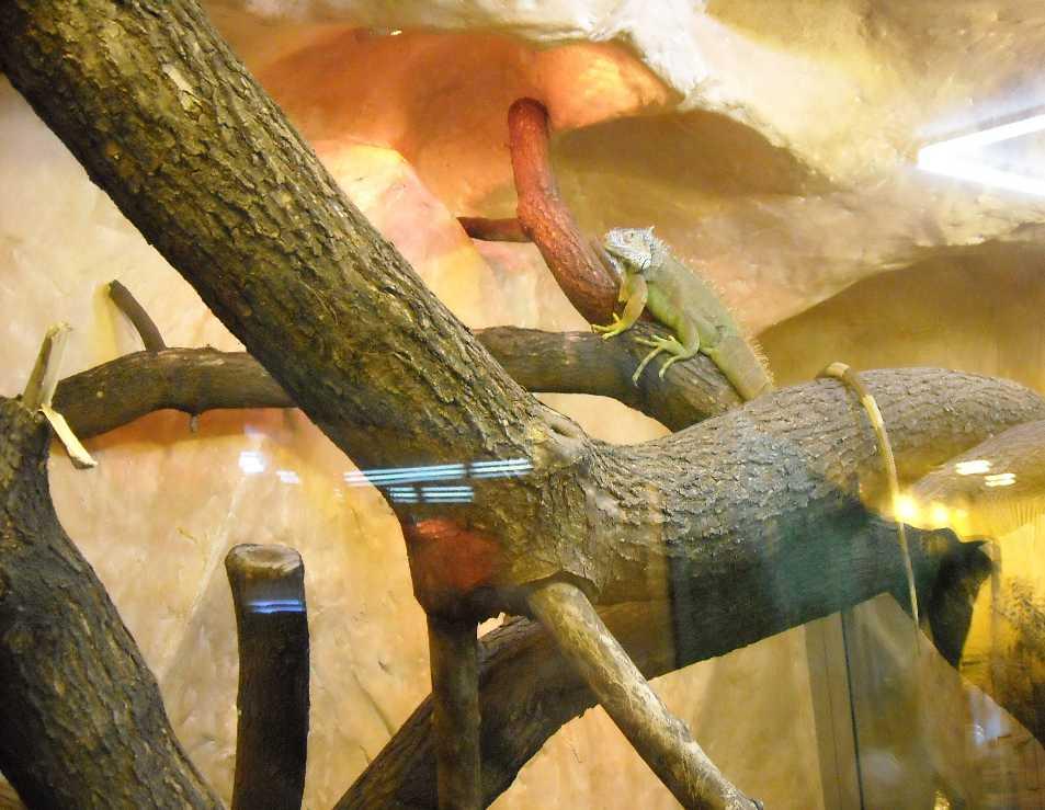 Обыкновенная игуана - Iguana iguana  (фото 2804)