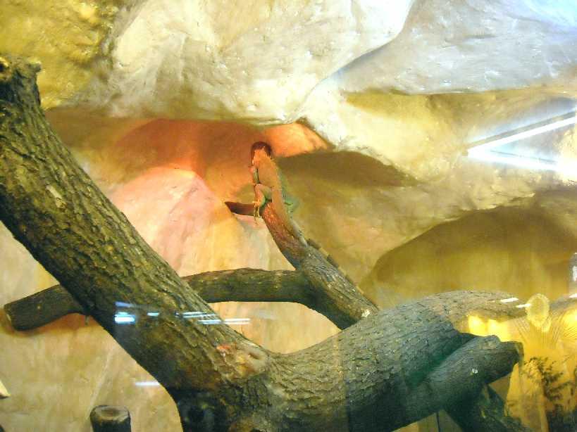 Обыкновенная игуана - Iguana iguana  (фото 2805)