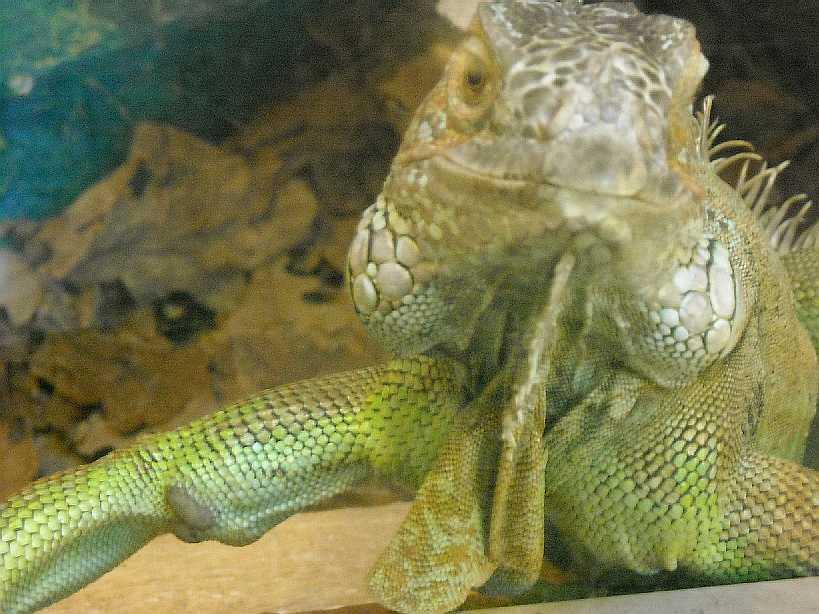Обыкновенная игуана - Iguana iguana  (фото 2812)