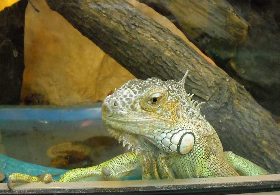 Обыкновенная игуана - Iguana iguana  (фото 2813)