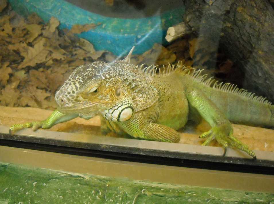 Обыкновенная игуана - Iguana iguana  (фото 2814)