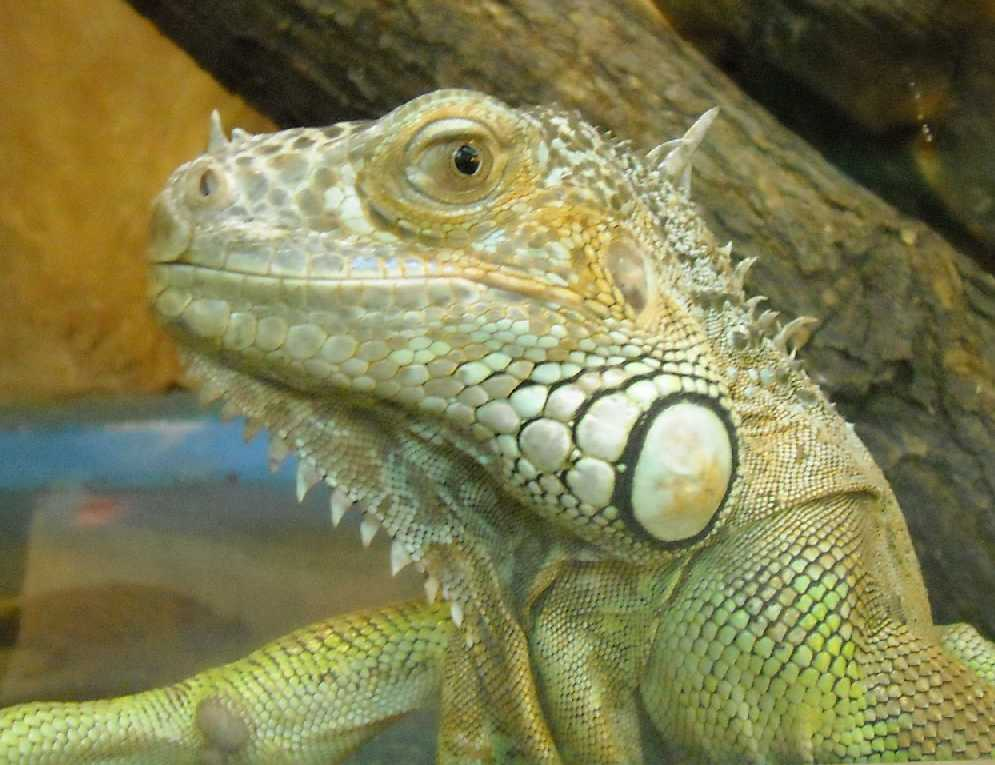 Обыкновенная игуана - Iguana iguana  (фото 2815)