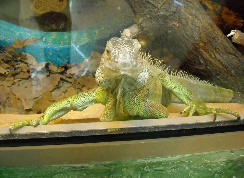 Обыкновенная игуана - Iguana iguana  (фото 2818)
