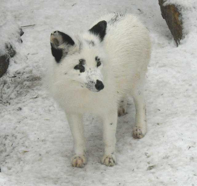 Лисица грузинская (снежная) -   (фото 2881)