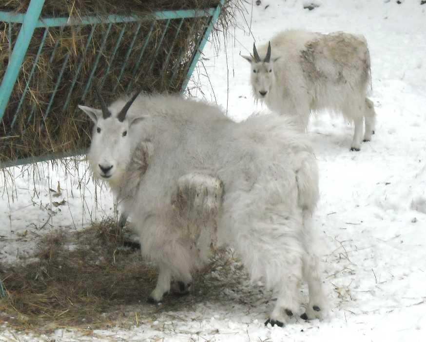 Снежная коза - Oreamnos americanus  (фото 2888)