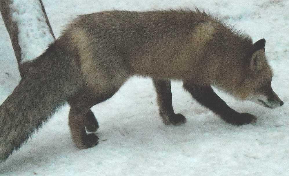 Обыкновенная лисица - Vulpes vulpes vulpes  (фото 2907)