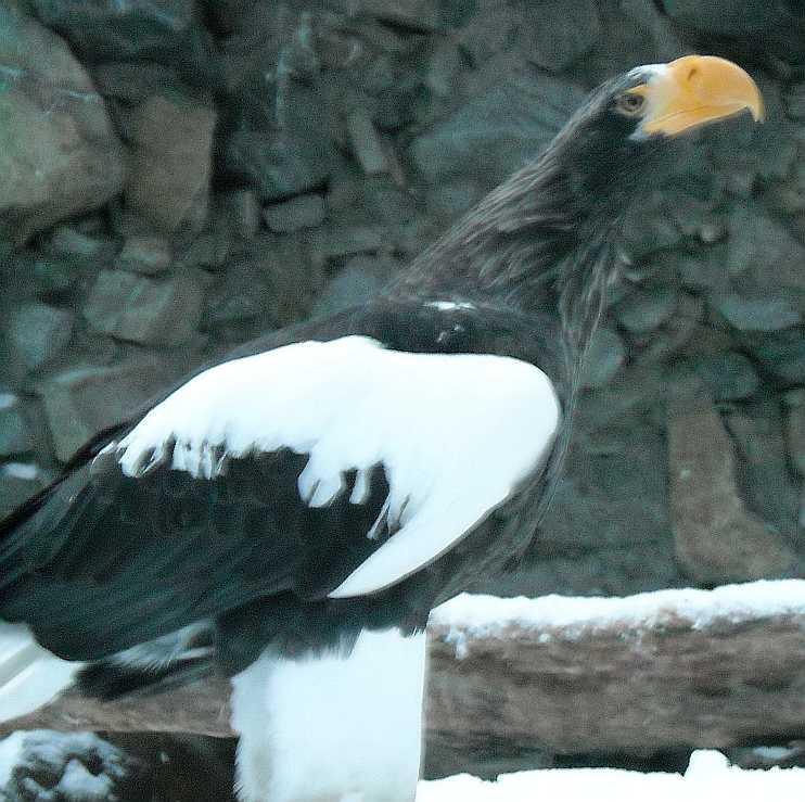 Орлан белоплечий - Haliaeetus pelagicus  (фото 2937)