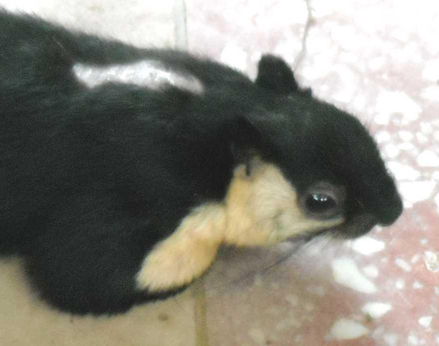 Ратуфа (гигантская белка) - Ratufa bicolor  (фото 2945)
