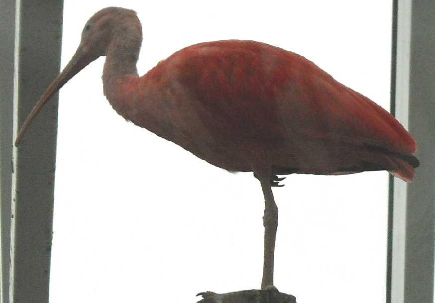 Красный ибис - Eudocimus ruber  (фото 2968)