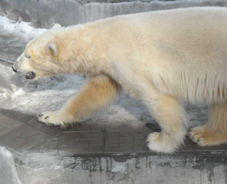 Белый медведь - Ursus maritimus  (фото 3044)