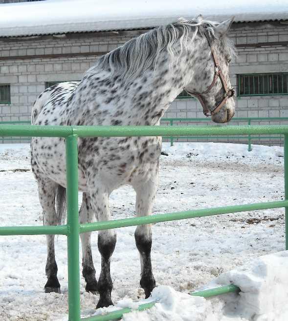 Орловский рысак -   (фото 3074)