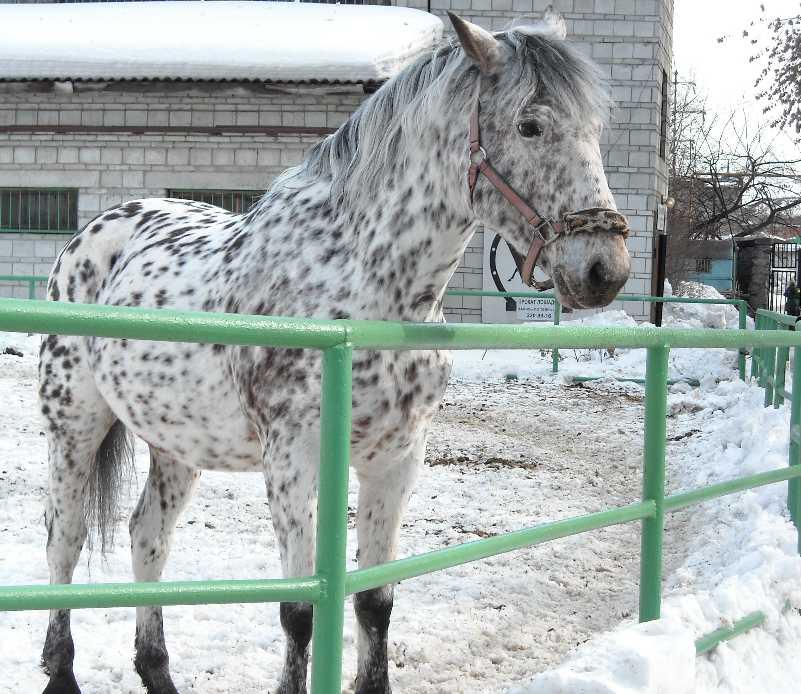 Орловский рысак -   (фото 3075)