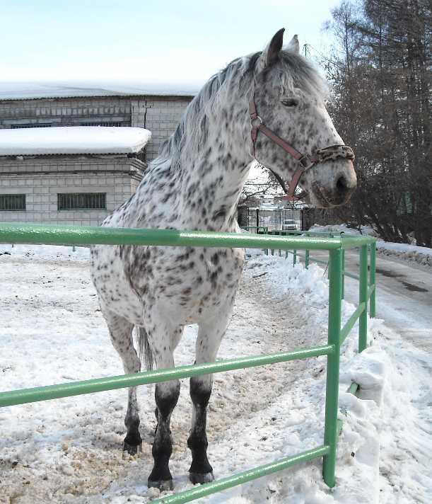 Орловский рысак -   (фото 3078)