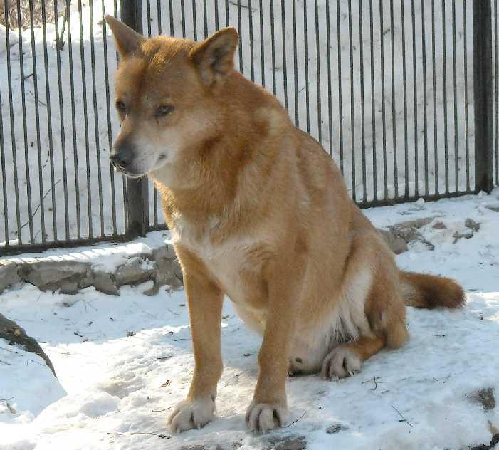 Австралийский динго - Canis familiaris dingo  (фото 3097)
