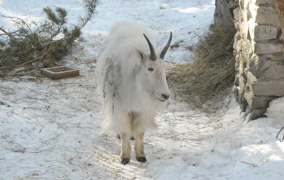 Снежная коза - Oreamnos americanus  (фото 3113)