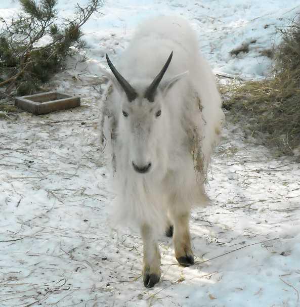 Снежная коза - Oreamnos americanus  (фото 3114)