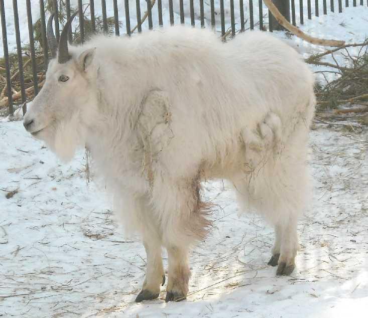 Снежная коза - Oreamnos americanus  (фото 3115)