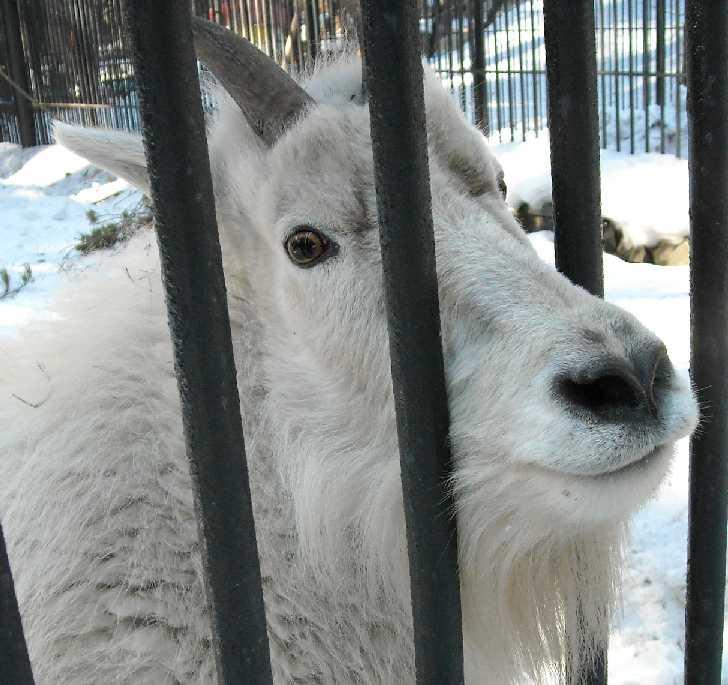 Снежная коза - Oreamnos americanus  (фото 3116)