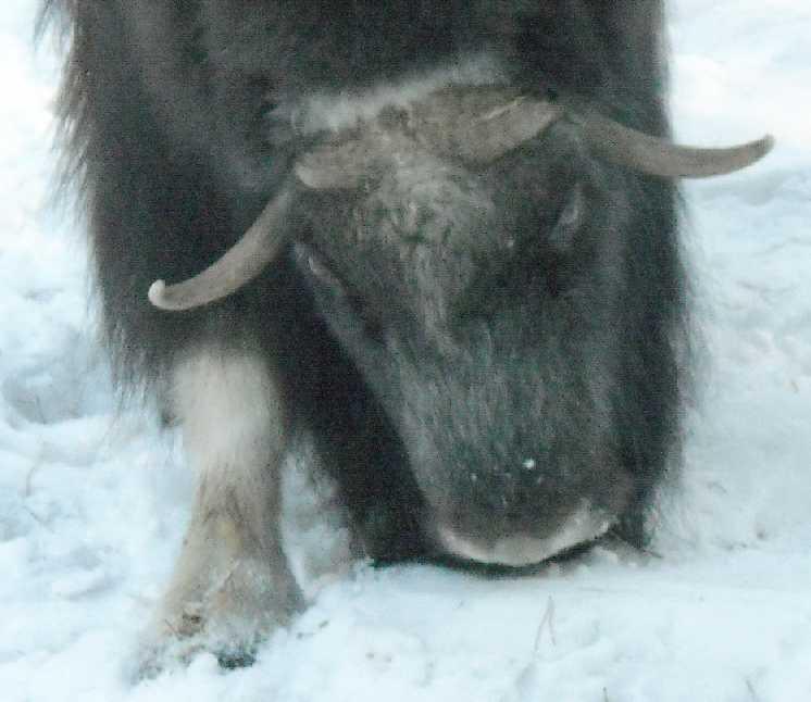 Овцебык - Ovibos moschatus  (фото 3126)