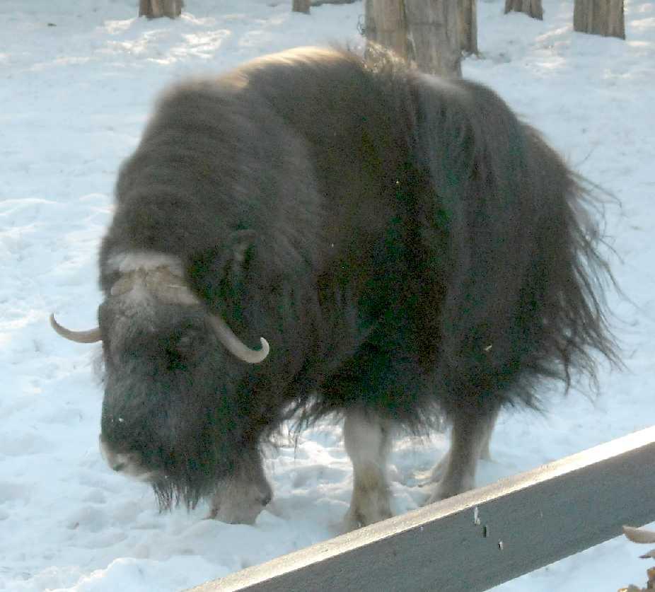 Овцебык - Ovibos moschatus  (фото 3128)