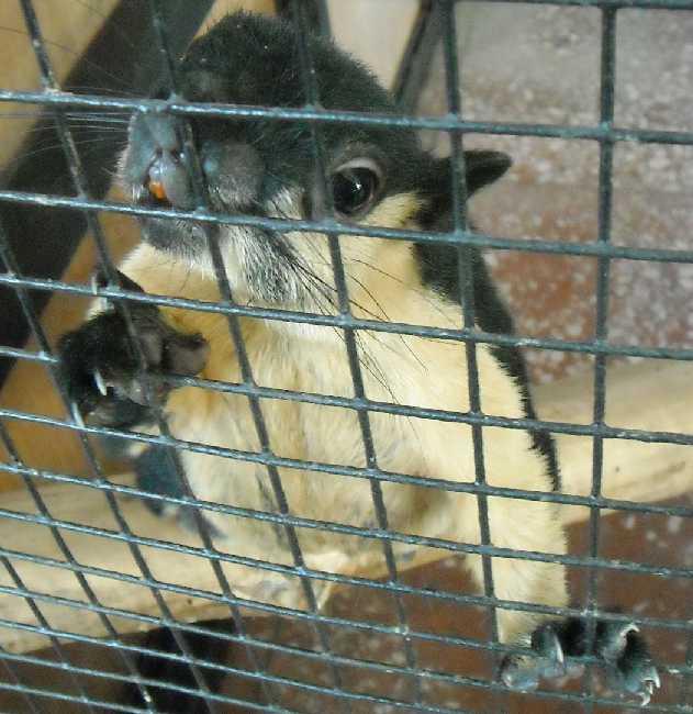Ратуфа (гигантская белка) - Ratufa bicolor  (фото 3138)
