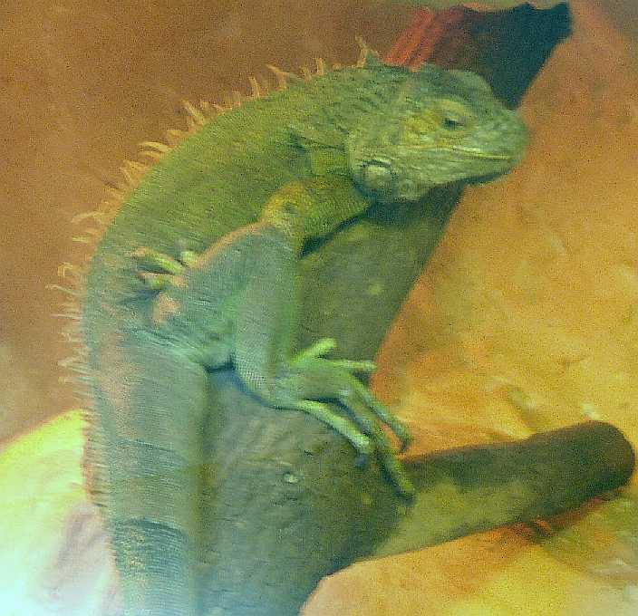 Обыкновенная игуана - Iguana iguana  (фото 3146)