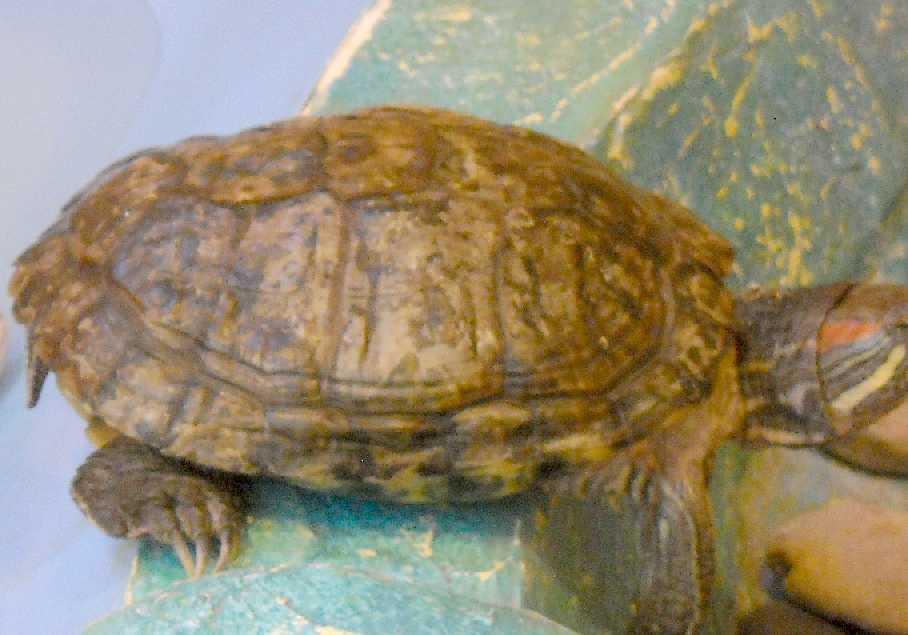Красноухая черепаха - Pseudemys scripta elegans  (фото 3148)