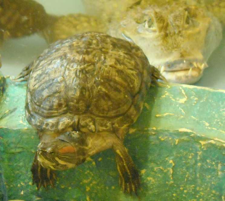 Красноухая черепаха - Pseudemys scripta elegans  (фото 3150)