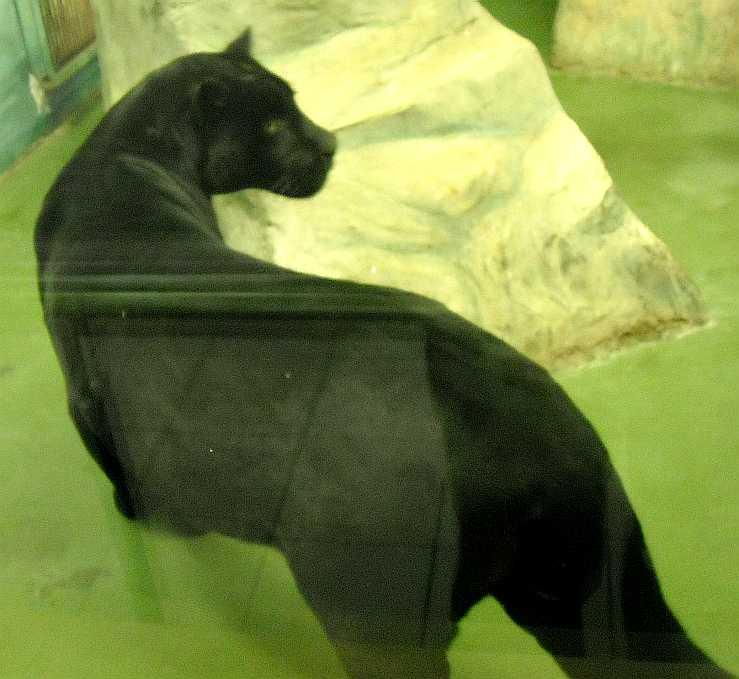 Ягуар черный - Panthera onca  (фото 3153)