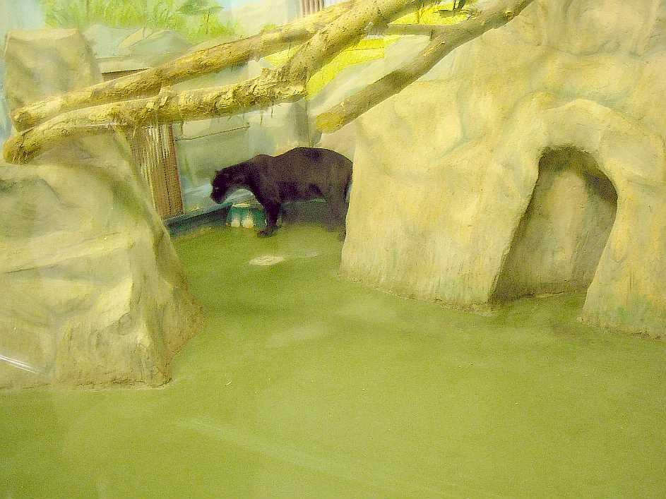 Ягуар черный - Panthera onca  (фото 3155)