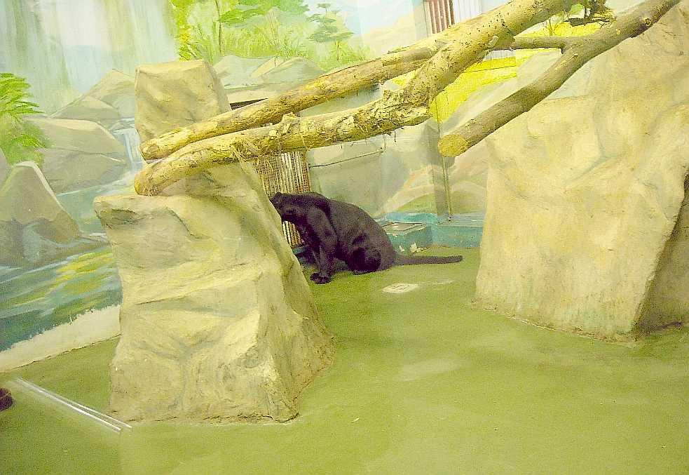 Ягуар черный - Panthera onca  (фото 3156)