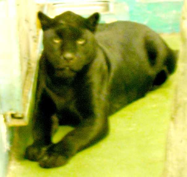 Ягуар черный - Panthera onca  (фото 3158)