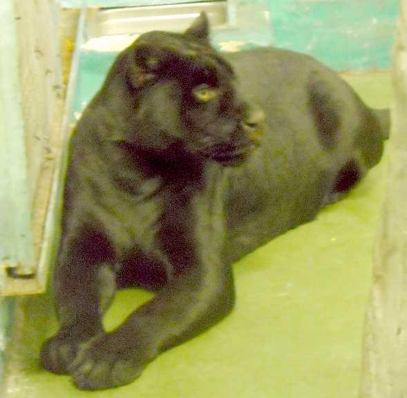 Ягуар черный - Panthera onca  (фото 3159)