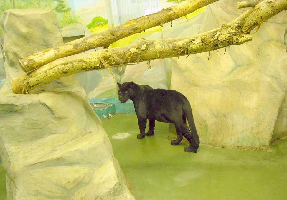 Ягуар черный - Panthera onca  (фото 3160)