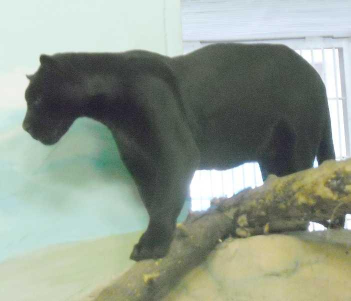 Ягуар черный - Panthera onca  (фото 3161)