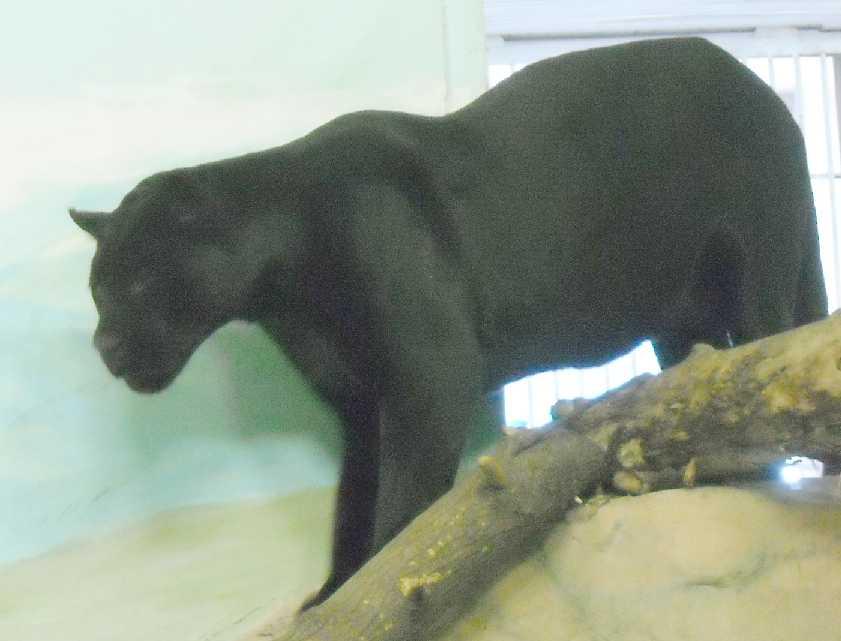 Ягуар черный - Panthera onca  (фото 3162)