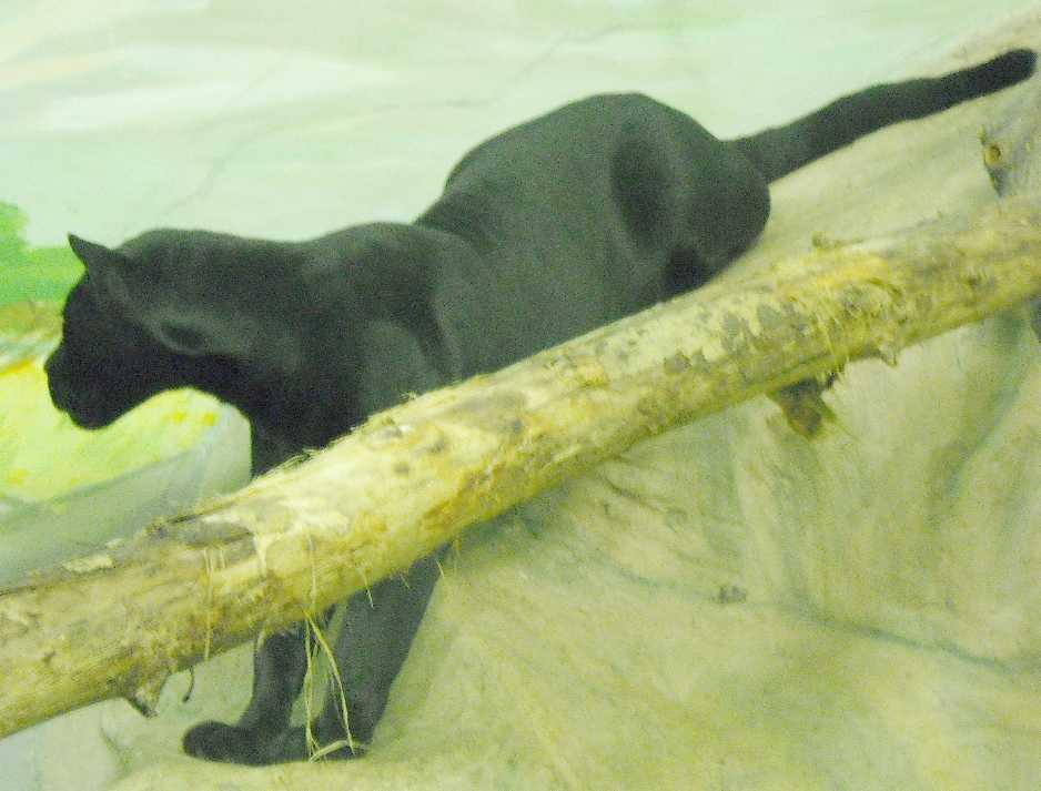 Ягуар черный - Panthera onca  (фото 3163)