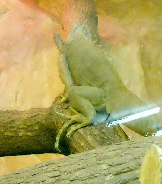 Обыкновенная игуана - Iguana iguana  (фото 3210)