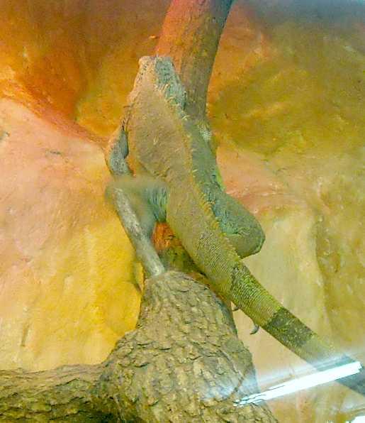 Обыкновенная игуана - Iguana iguana  (фото 3211)