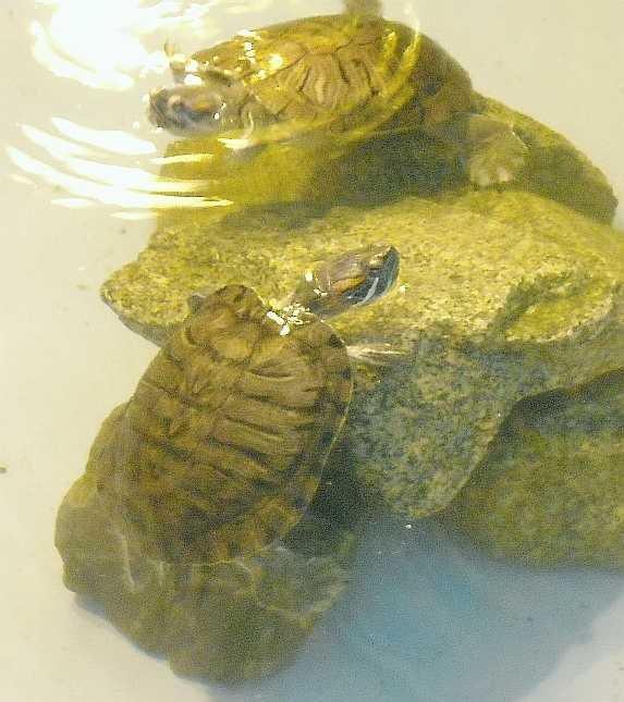 Красноухая черепаха - Pseudemys scripta elegans  (фото 3213)