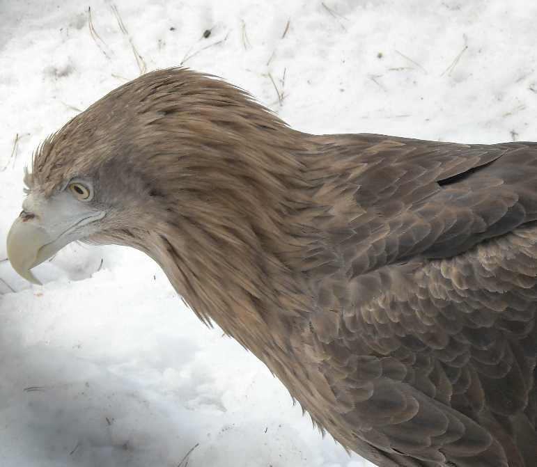 Орлан-белохвост - Haliaeetus albicilla  (фото 3229)