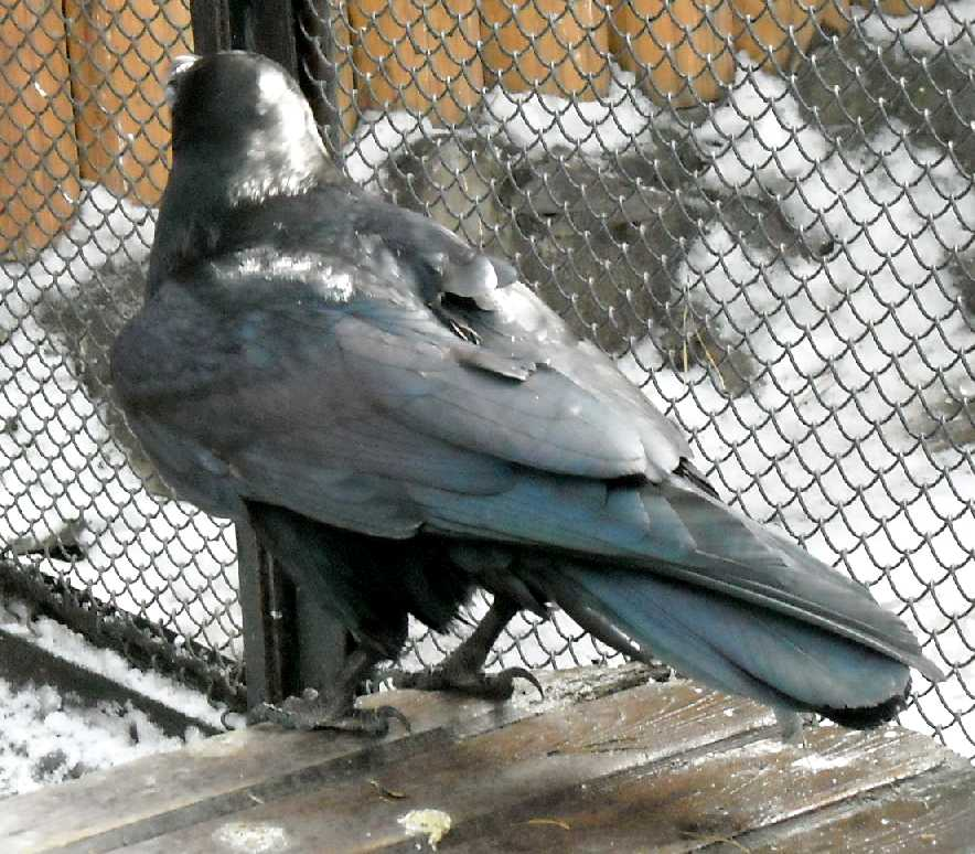 Ворон - Corvus corax  (фото 3239)