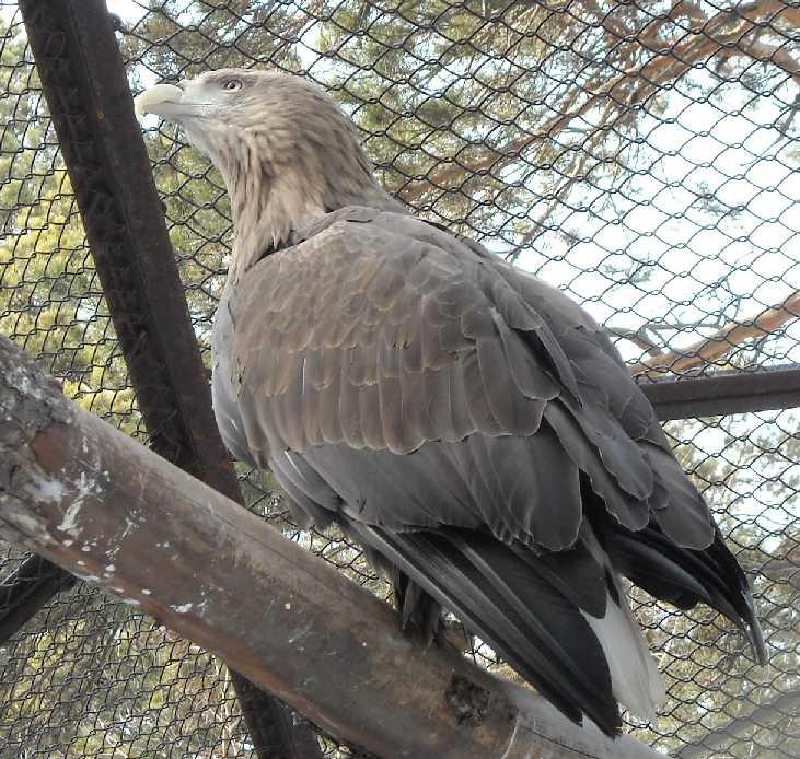 Орлан-белохвост - Haliaeetus albicilla  (фото 3248)