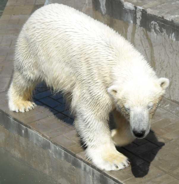 Белый медведь - Ursus maritimus  (фото 3348)