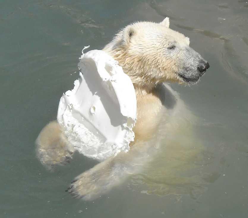 Белый медведь - Ursus maritimus  (фото 3350)