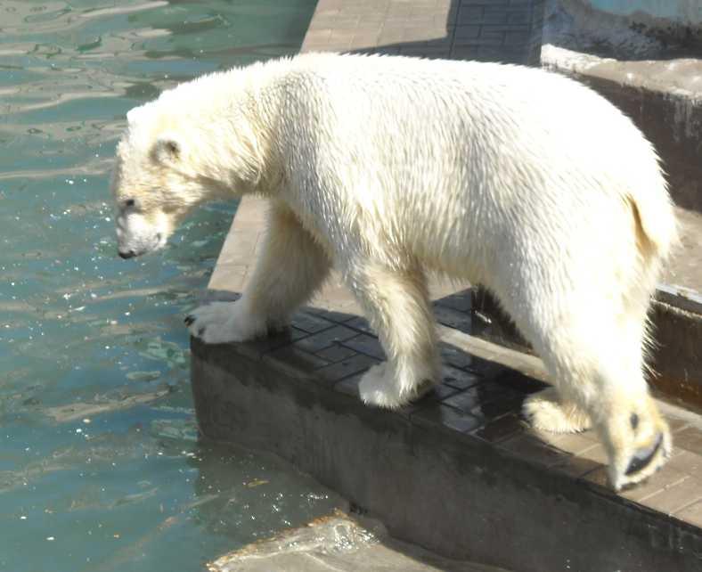 Белый медведь - Ursus maritimus  (фото 3353)