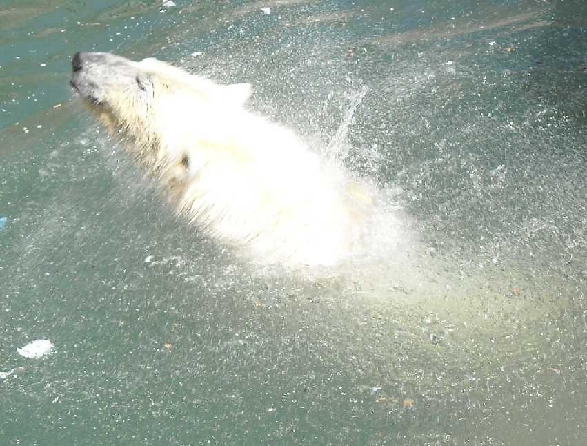 Белый медведь - Ursus maritimus  (фото 3354)